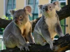 Tracking koala disease: New findings from old DNA