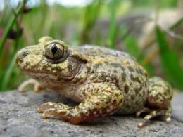 Traffic harms Asturian amphibians