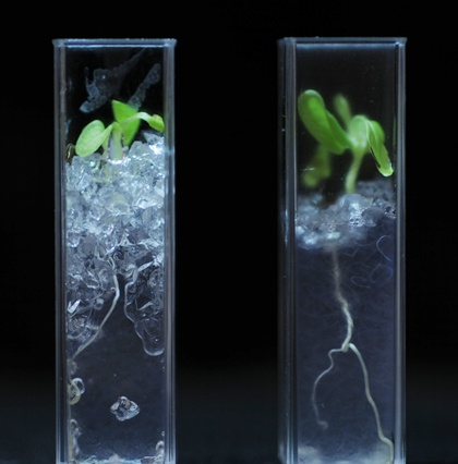 Transparent soil allows detailed study of roots