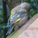Trichomonosis jumps species from pigeons to British finches: Loss of 1.5 million