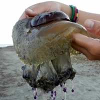 'Trojan horse' effect may explain jellyfish blooms