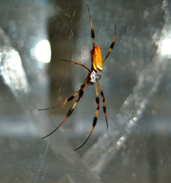 Untangling the mysteries of spider silk
