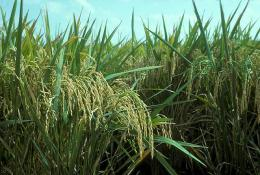 USDA links gene flow between weedy and domesticated rice to rising carbon dioxide levels