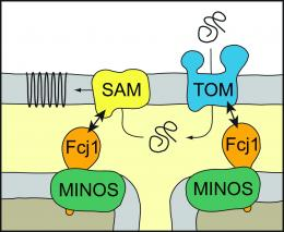 Researchers discover a new basic principle of the architecture of mitochondria