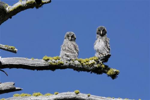 Voice software helps study of rare Yosemite owls
