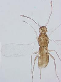 Wasp rediscovered after almost 100 years