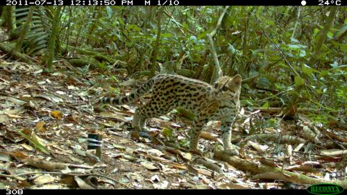 WCS photo of rare cat in Bolivia wins BBC prize
