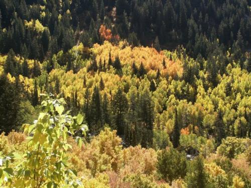 Western aspen trees commonly carry extra set of chromosomes