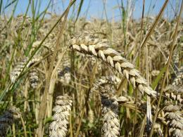 Ученые сумели существенно снизить количество клейковины в пшенице