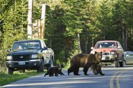 Where's a Yellowstone bear? Look on your phone (AP)