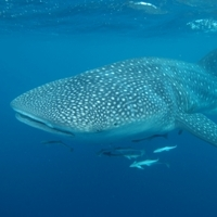 Why the world's biggest fish needs to swim near the surface