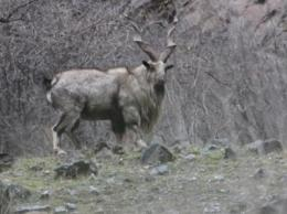 Wildlife Conservation Society documents pneumonia outbreak in endangered markhor