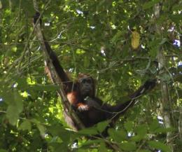 Wild orangutans stressed by eco-tourists, but not for long, IU study out of north Borneo finds