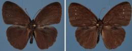 Wing bling: For female butterflies, flashier is better