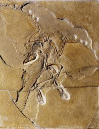 Winged dinosaur Archaeopteryx dressed for flight