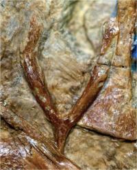 Wishbones give insight into prehistoric flight