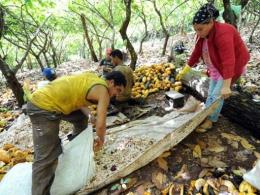 Workers extract beans from cocoa pods in Mecicilandia, along the Trans-Amazon highway