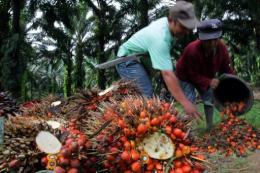 Workers harvest palm oil fruits at a plantation in Medan