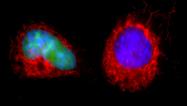 Гибнущие клетки могут восстанавливаться