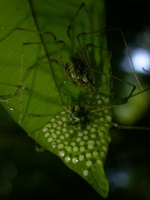 Single spider dads caring for eggs suffer no disadvantages despite parenting costs