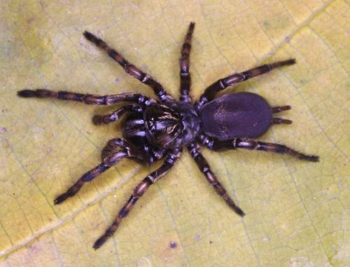 3 new wafer trapdoor spiders from Brazil
