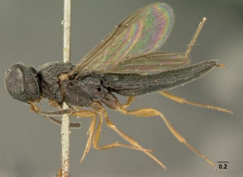 71 new parasitoid wasp species discovered from Southeast Asia