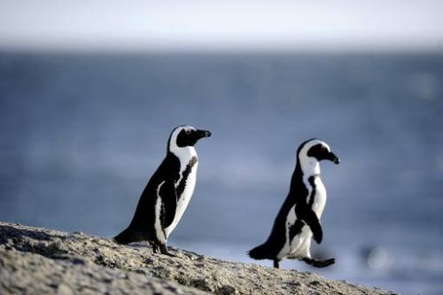 African penguins are pictured on March 16, 2011 in Simon's Town near Cape Town, South Africa