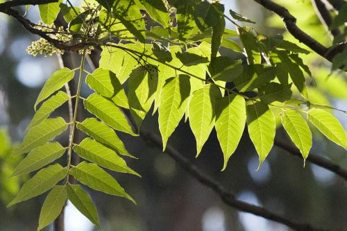 Ailanthus tree's status as invasive species offers lesson in human interaction
