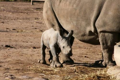 A male white rhinoceros calf at Taronga Western Plains Zoo in Sydney, May 14, 2013