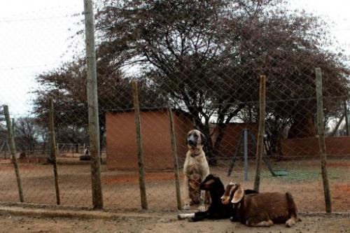 An Anatolian Shepherd dog and two goats sit at The Cheetah Conservation Fund  in Otjiwarongo, Namibia, August 13, 2013