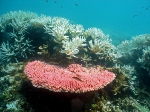 An Australian Institute of Marine Science photo from October 2012 shows bleaching on coral on the Great Barrier Reef