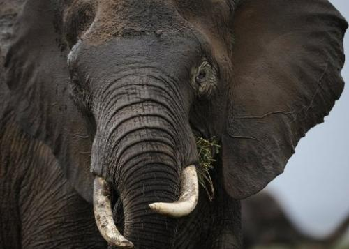 An elephant at the Amboseli game reserve in Kenya on December 30, 2012