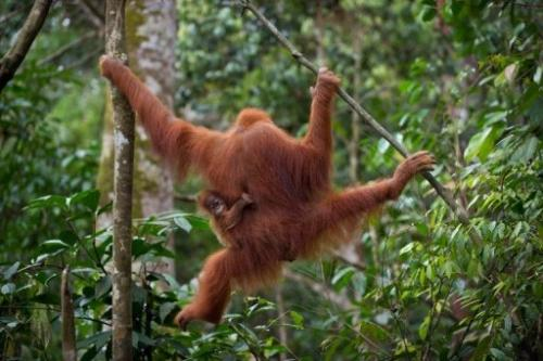 An endangered Sumatran orangutan with a baby swings through the trees on Indonesia's Sumatra island, April 10, 2013