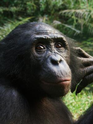 Apes get emotional over games of chance