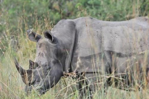 A photo taken on February 6, 2013 shows a rhinoceros resting in the Kruger National Park near Nelspruit, South Africa