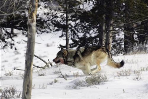 APNewsBreak: Plan lifts Lower 48 wolf protections