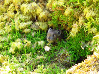 A roly-poly pika gathers much moss