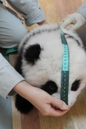 A Taipei City Zoo handout photo released on October 14, 2013 shows a staff member measuring panda cub Yuan Zai
