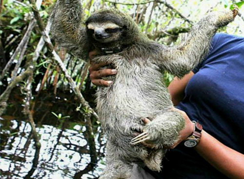Attempted live sloth export sparks international conservation incident