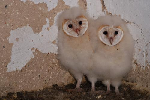 Baby owls sleep like baby humans