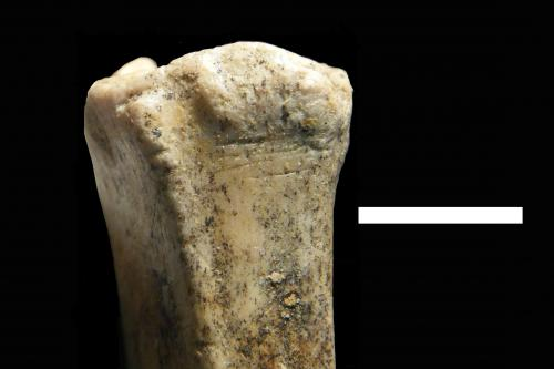 Baylor University researcher finds earliest evidence of human ancestors hunting & scavenging