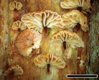 Beautiful but hiding unpleasant surprise: 3 new species of fetid fungi from New Zealand