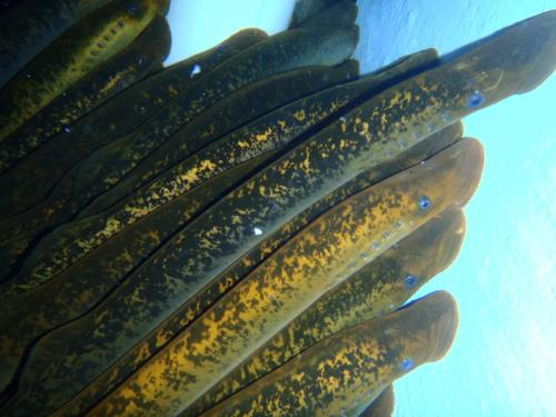 Bile salts -- sea lampreys' newest scent of seduction