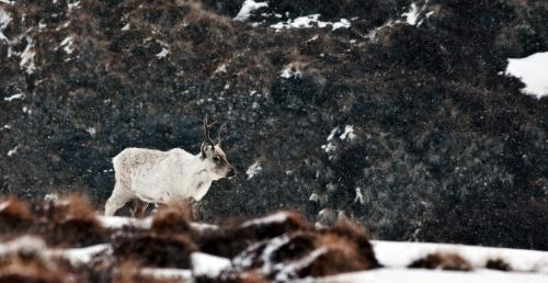 Caribou may be indirectly affected by sea-ice loss in the Arctic