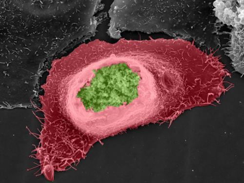 Chlamydia promotes gene mutations