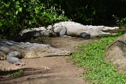 Crocodiles disappearing as dinner in Jamaica
