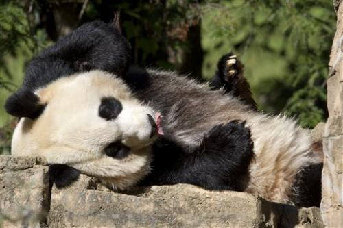 DC panda that birthed live cub has stillborn 1 too