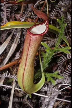 Death traps: How carnivorous plants catch their prey