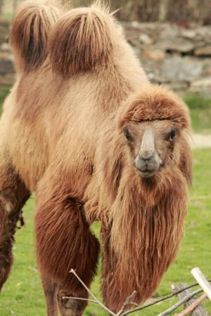 Decoding the genome of the camel