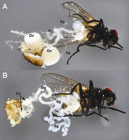 Delivering a virus that gets rid of house flies